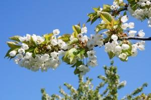 arbre-en-fleurs-
