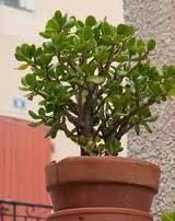 crassula argentae ou arbre de jade